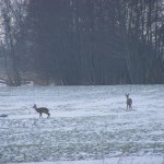 Reeen in de winter